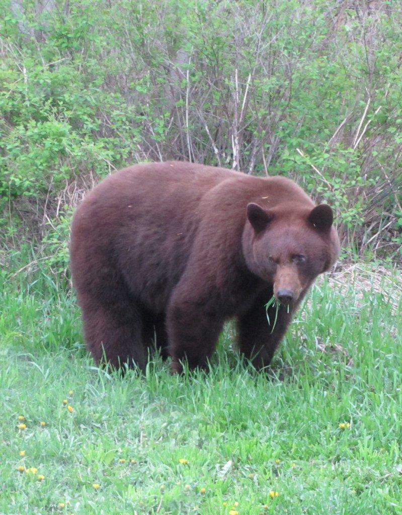 COs say bears aren't roaming East Kootenay yet