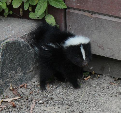 Skunk sightings surge in Kimberley and Cranbrook
