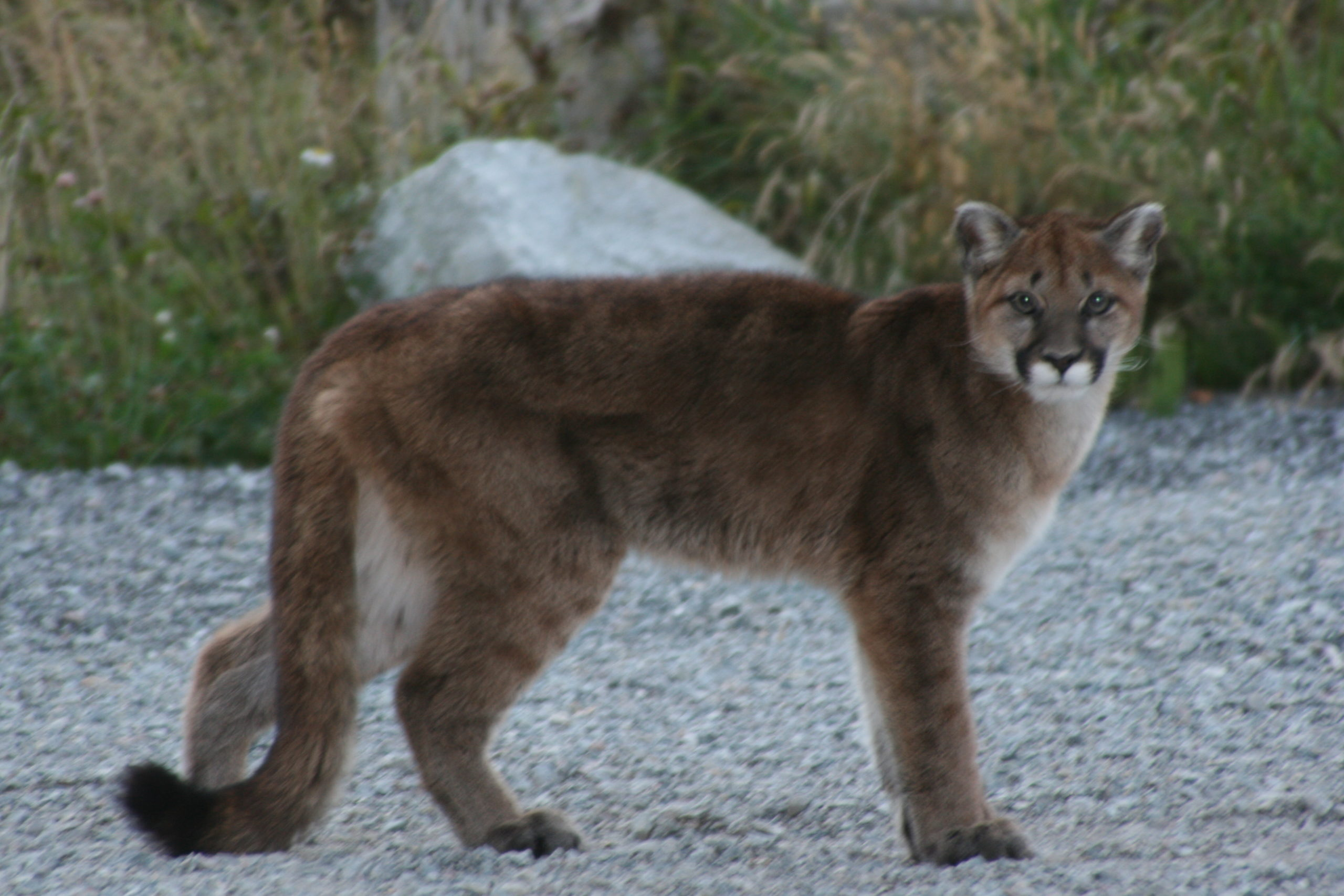Two cougars destroyed in Fernie