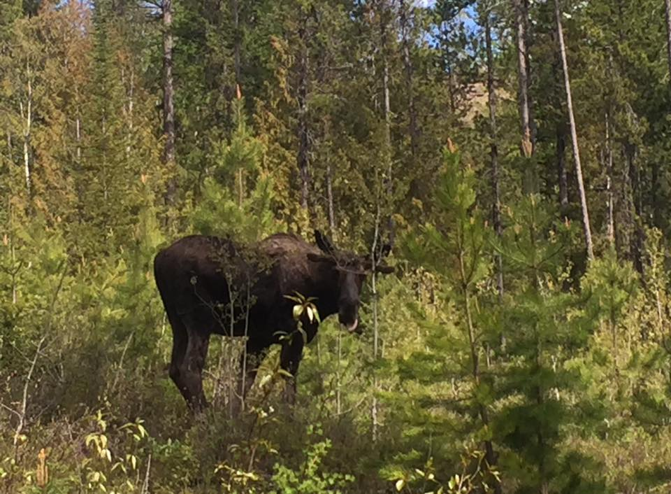 Numerous moose and bear reported around Elk Valley trails