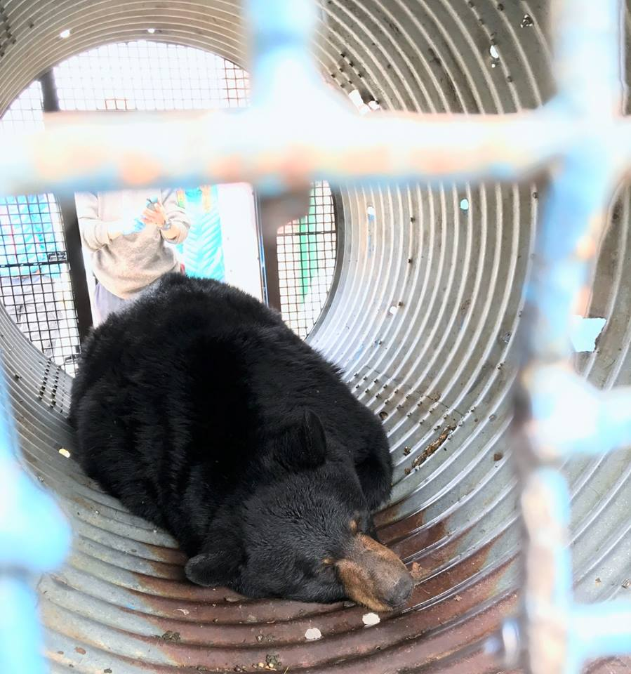 "Columbia Valley COs successful with ""rare"" relocation of bear"