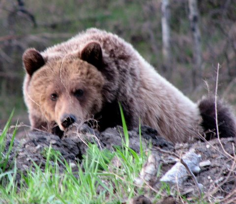 Grizzly charges biker at Chief Isadore Trail
