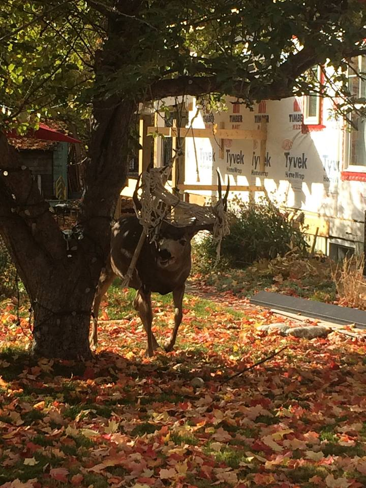 COs free deer after close encounter with hammock in Marysville