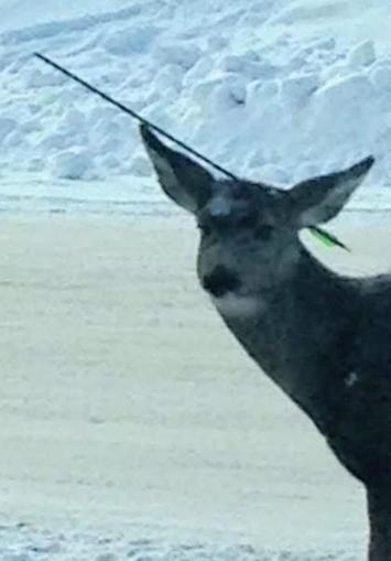 Elkford deer found with arrow in head