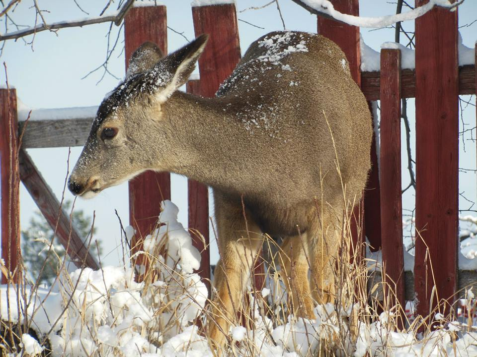 Cranbrook Council to vote on deer cull Monday