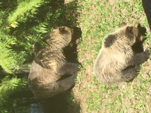 Family of grizzlies seen numerous times around Fernie Alpine Resort
