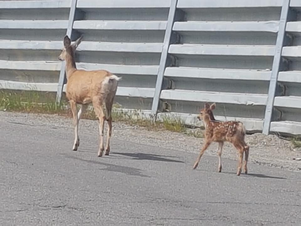 WildSafeBC warns of aggressive deer in Cranbrook, Kimberley