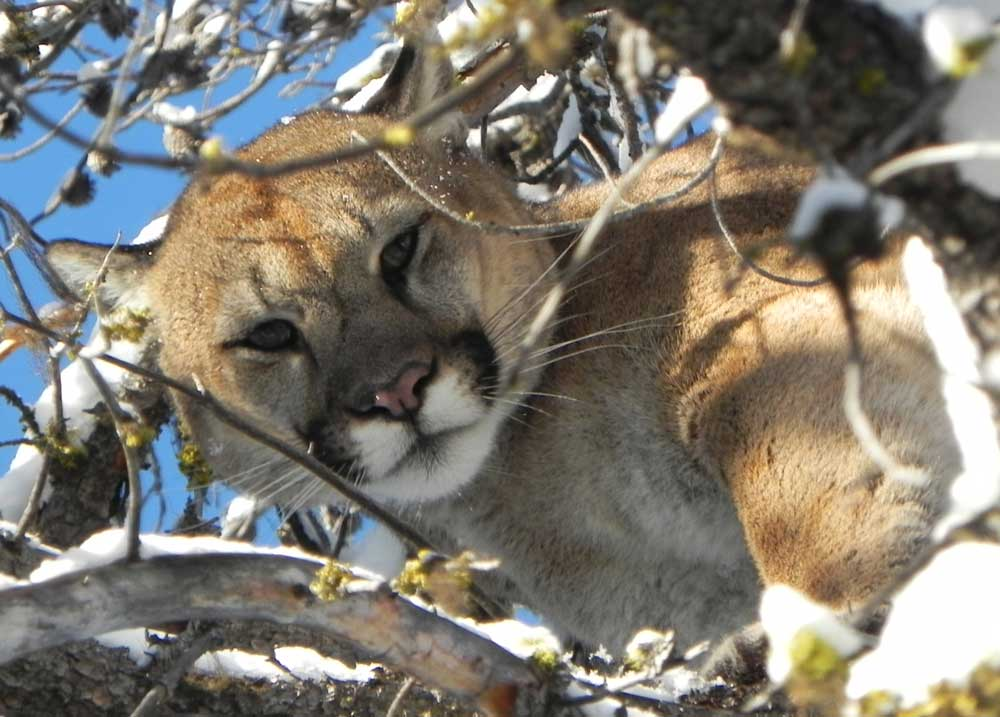 Cougar put down in Fernie neighbourhood no longer feared people: COS