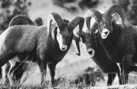 Two people fined over $14k after bighorn sheep killed at EK mining site
