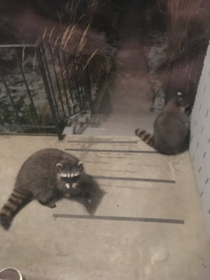 Raccoons among smaller animals reported to WildSafe BC, conservation officers