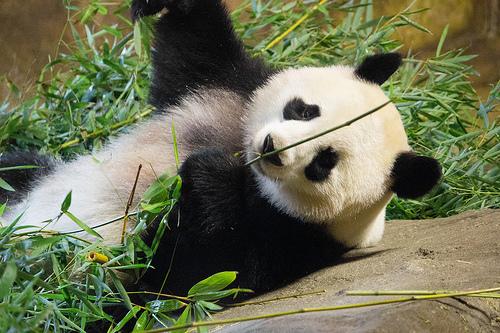 Calgary Zoo To Open New Panda Exhibit