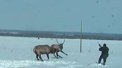 One shot from Fish and Wildlife officer saves two elk