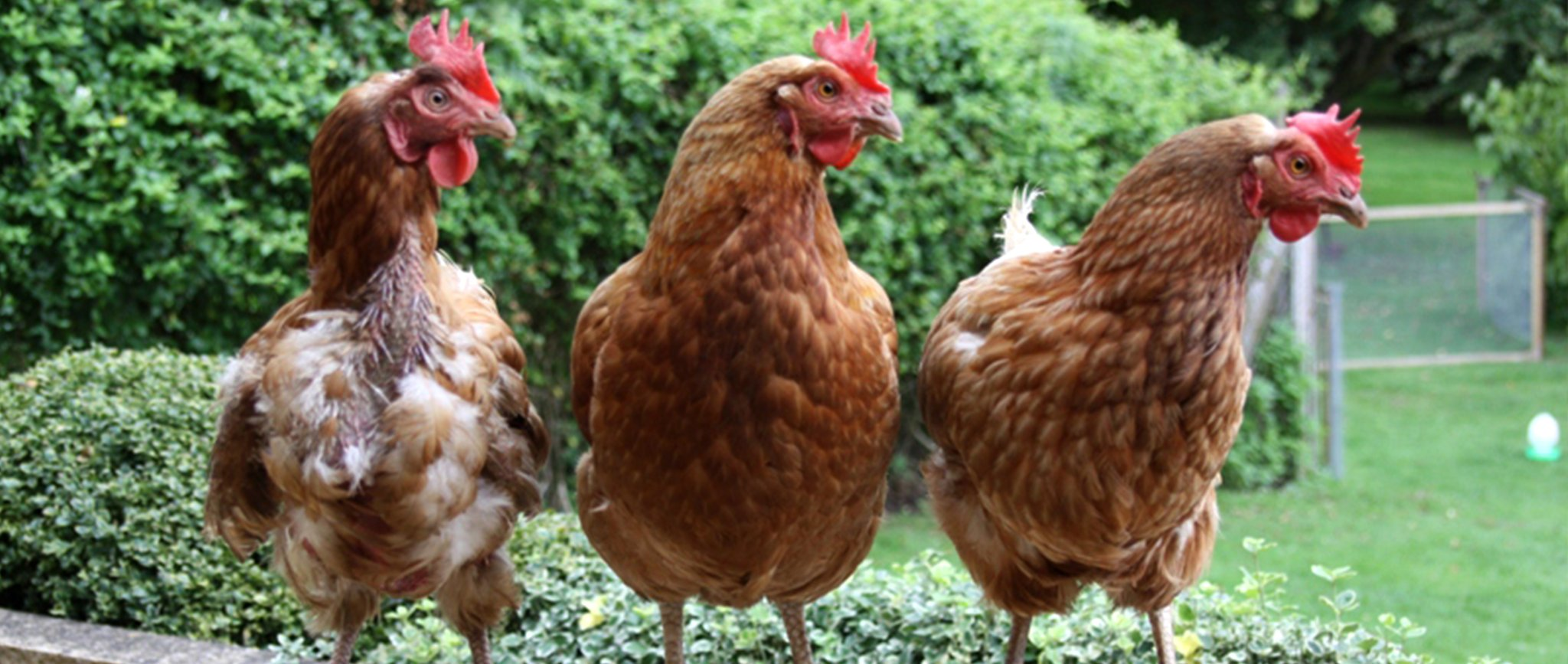 Urban hens up for discussion at tonight's city council meeting