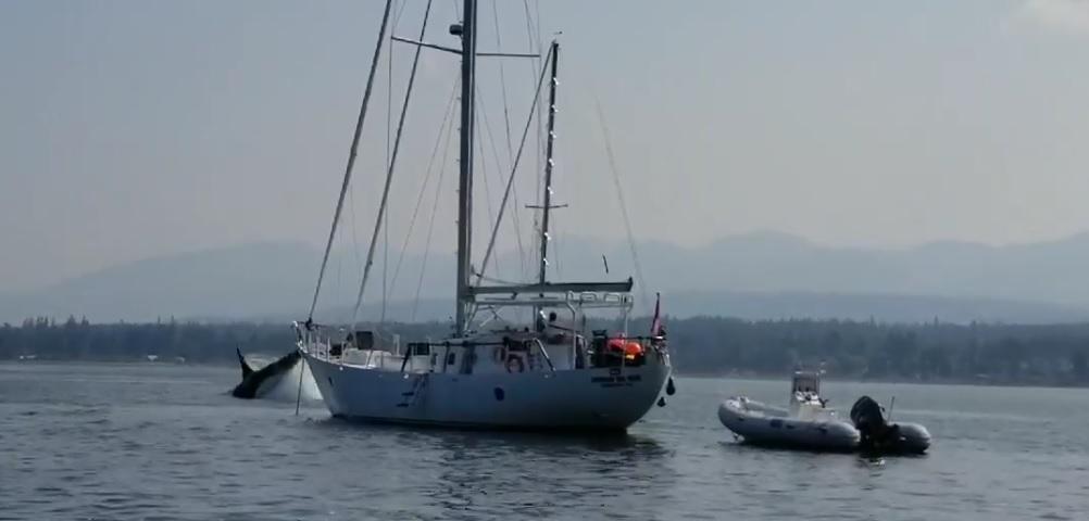 Orca Steals Sailboat in Comox