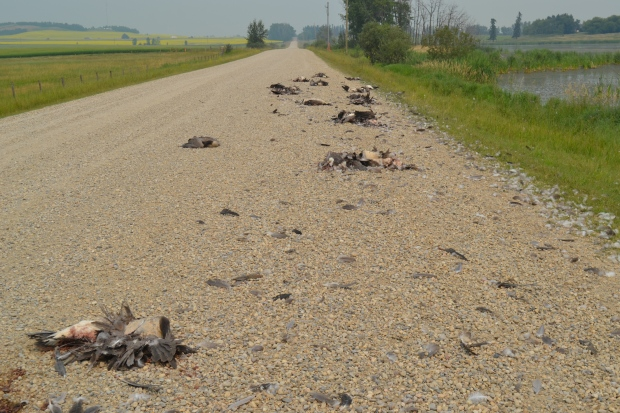 VEHICLE RAMS THROUGH A FLOCK OF GEESE NEAR INNISFAIL