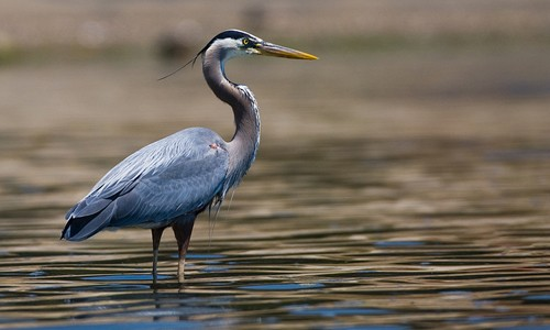 SYNCRUDE CHARGED AFTER BLUE HERONS DIE IN SUMP TWO YEARS AGO