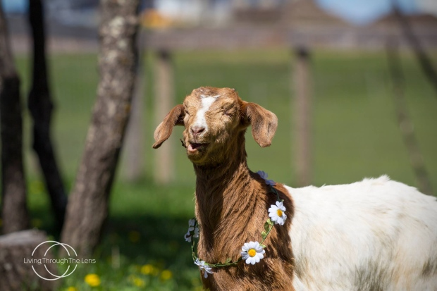 THE HUNT CONTINUES FOR A BLIND BABY GOAT NAMED DAISY