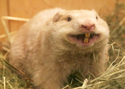 WIARTON WILLIE PASSES AWAY
