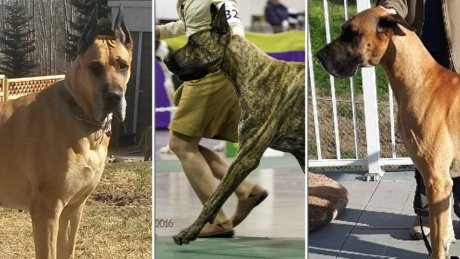 COLD LAKE RCMP LOOKING FOR STOLEN GREAT DANES