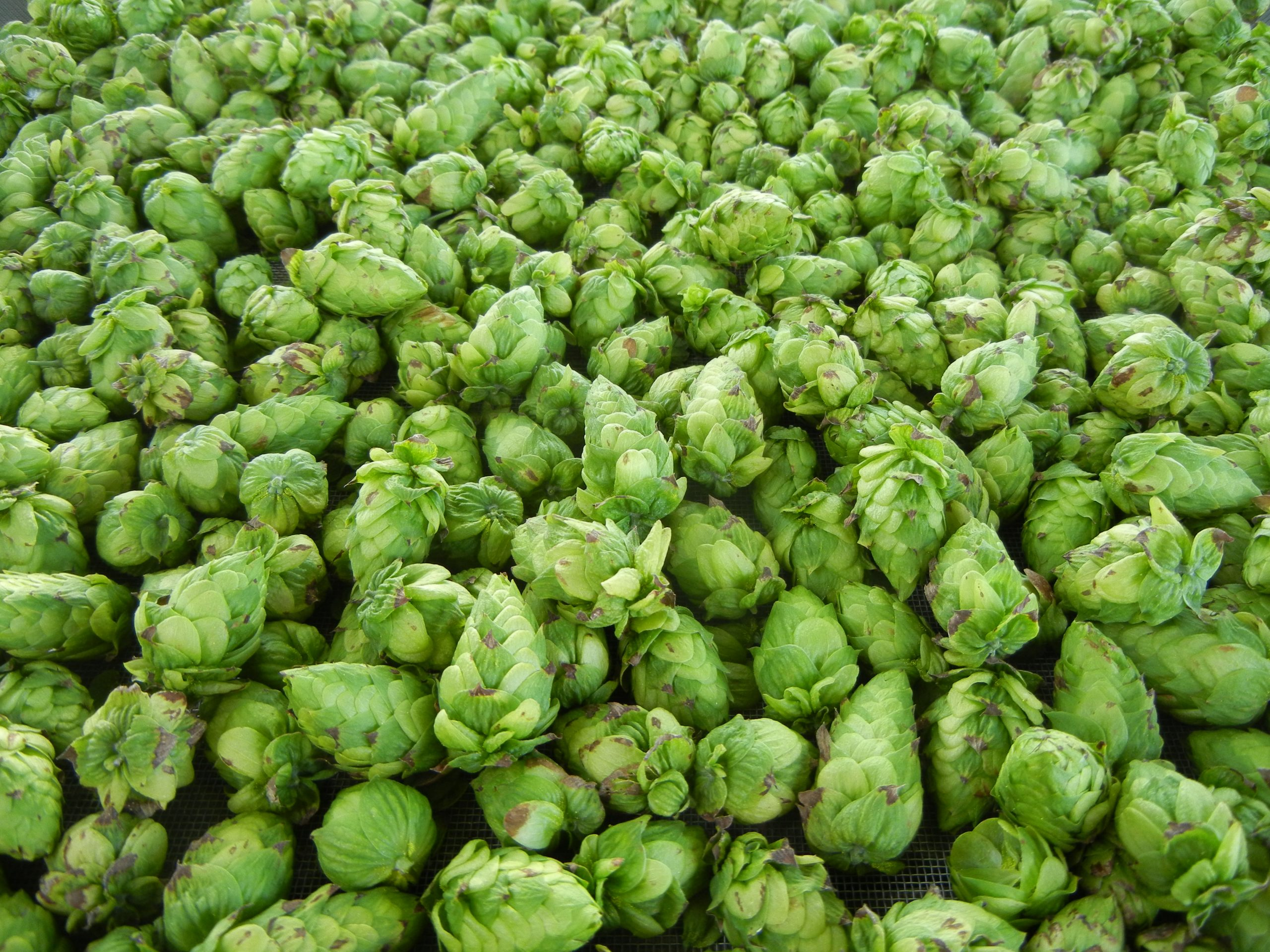 HOPS ON THE RISE