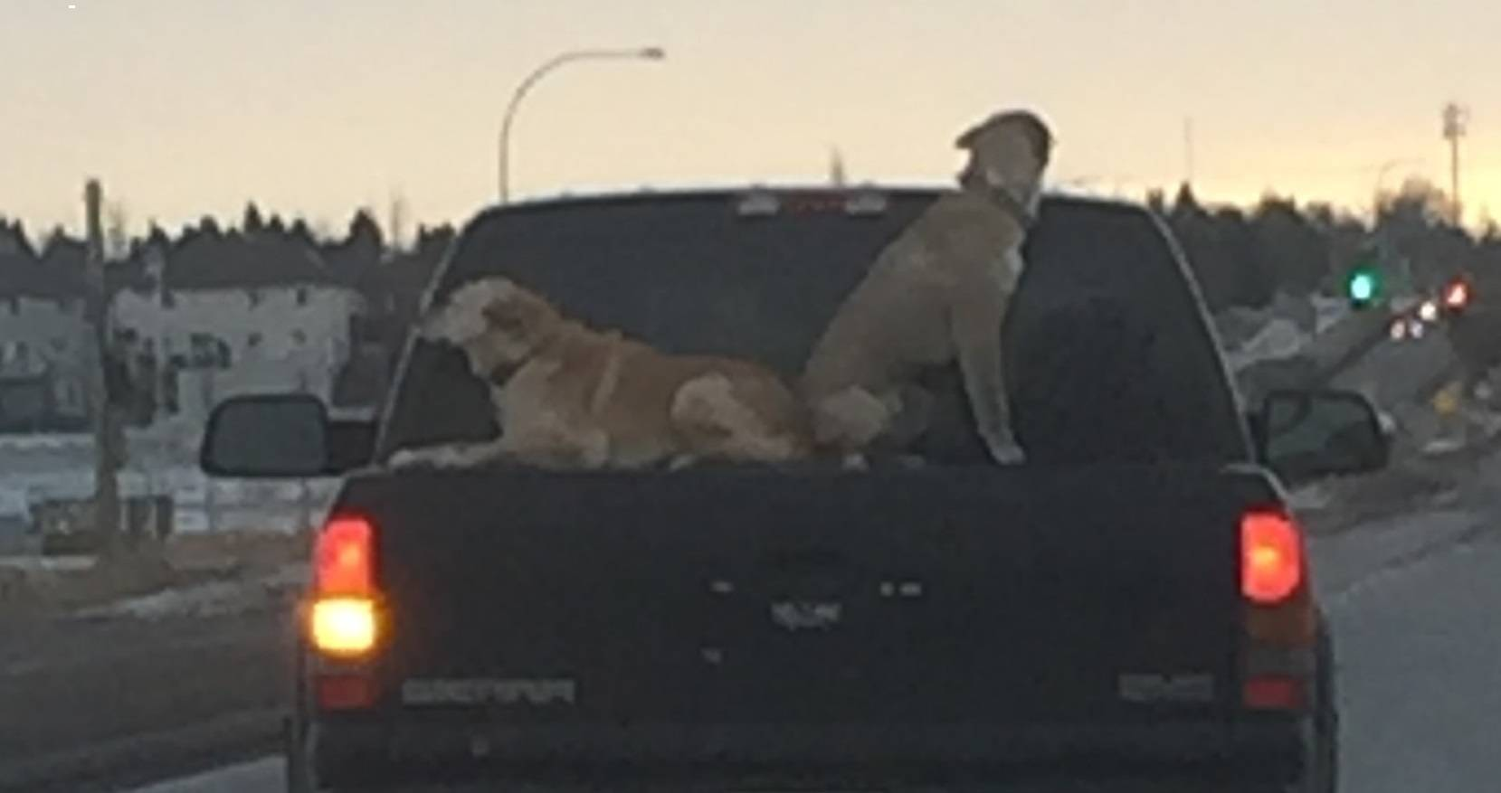 SPCA DECIDES TO NOT CHARGE DRIVER OF TRUCK THAT HAD DOGS RIDING ON A TRUCK BED COVER
