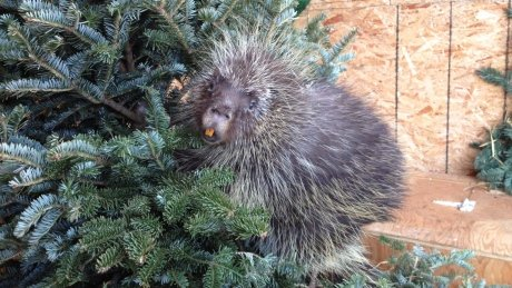 WILDNorth REHAB CENTRE COULD USE YOUR OLD REAL CHRISTMAS TREES
