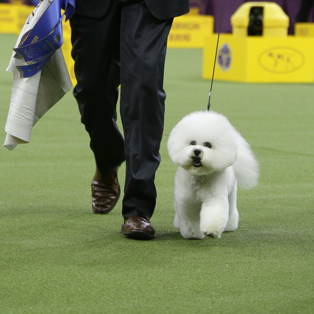 BICHON FRISE WINS BEST IN SHOW