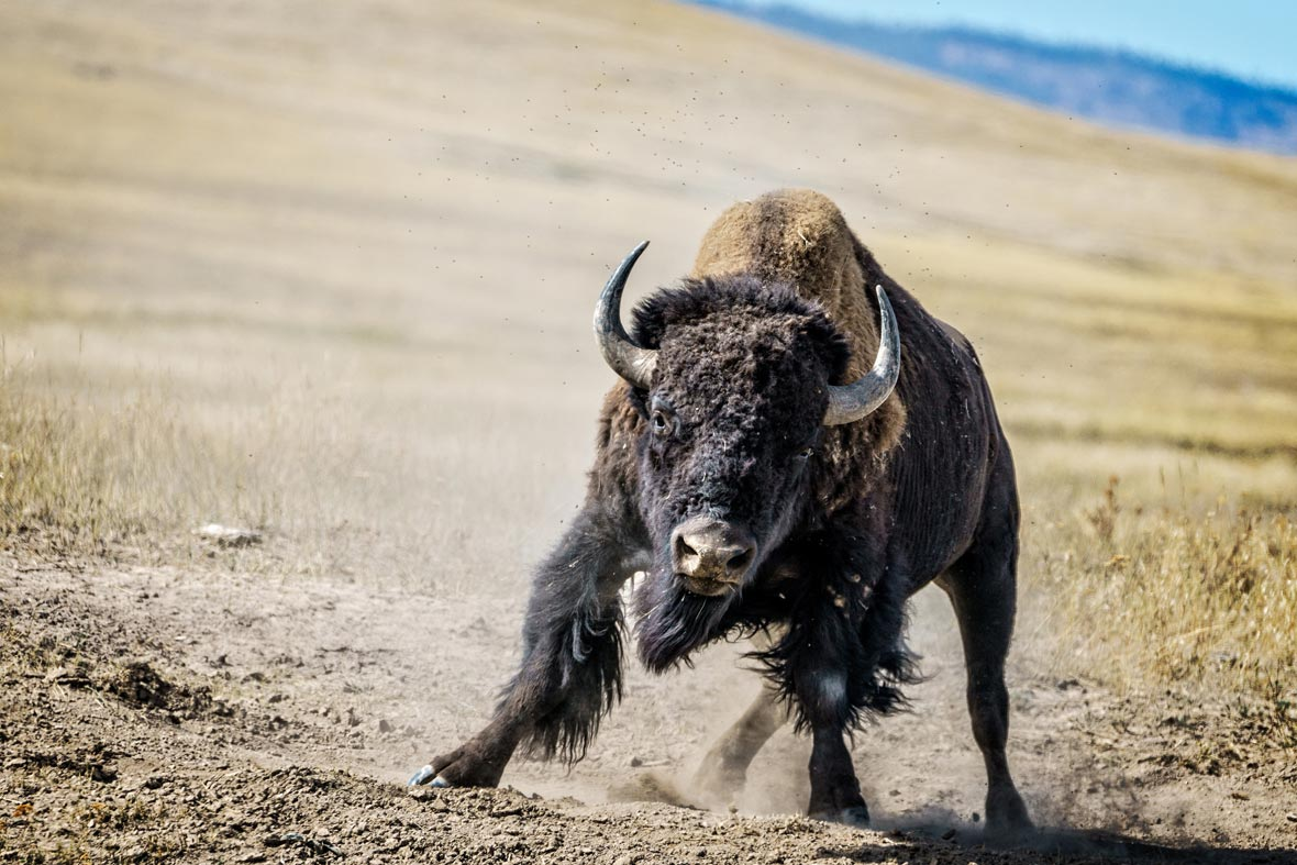 JOGGER GORED BY BISON AT ELK ISLAND NATIONAL PARK