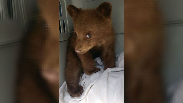 ALBERTA'S NEW POLICY TO ALLOW PRIVATE REHAB AND RESCUE FOR ORPHANED BEAR CUBS---GETS ITS FIRST CUSTOMER