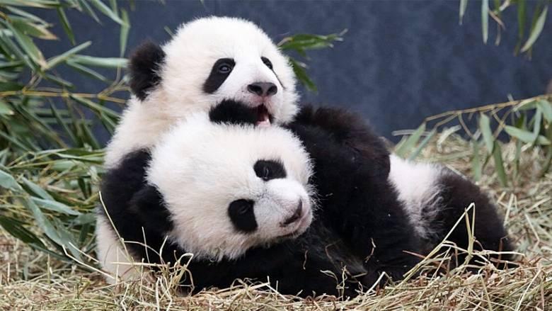PANDAS IN COWTOWN