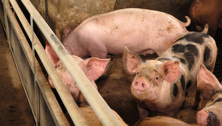 FEDS PUTTING MORE MONEY INTO CANADA'S SWINE INDUSTRY