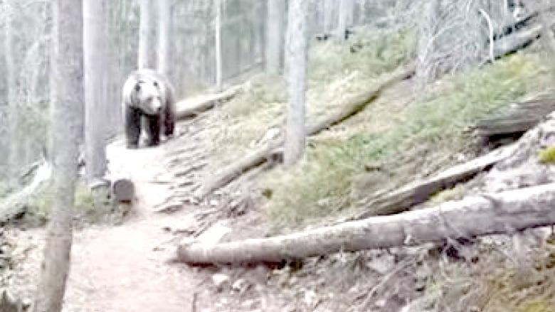 AUSTRALIAN FAMILY RUNS INTO GRIZZLY ON TRAIL NEAR CANMORE