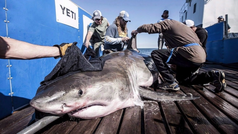 HILTON THE SHARK'S APPEARANCE OFF NOVA SCOTIA COULD MEAN BIG THINGS
