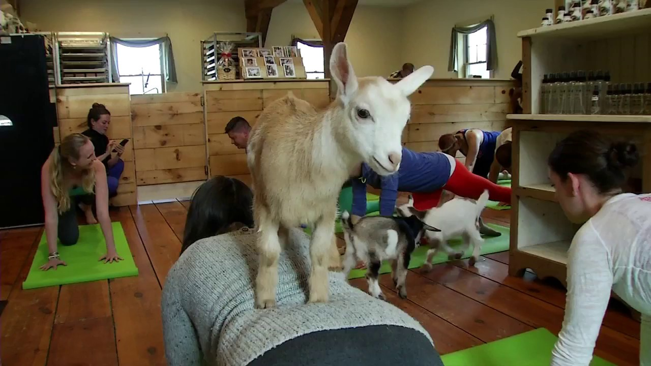 GOAT YOGA CLASSES HAPPENING THIS WEEK AT K-DAYS