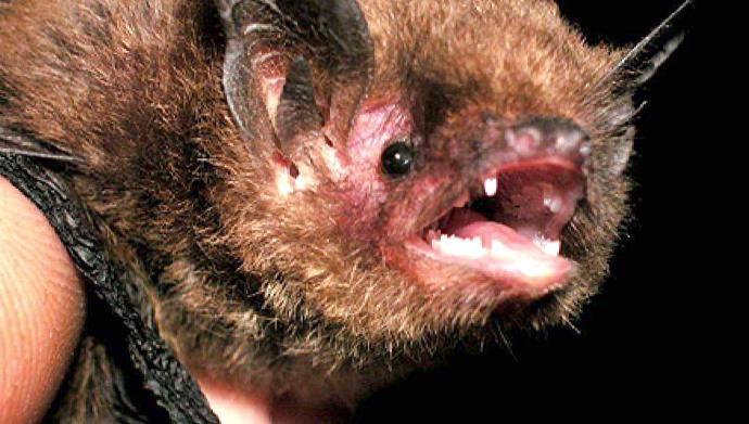RABID BAT FOUND IN JASPER NATIONAL PARK