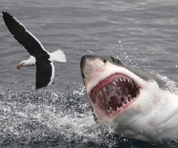 HILTON THE GREAT WHITE SHARK---BACK OFF THE COAST OF NOVA SCOTIA