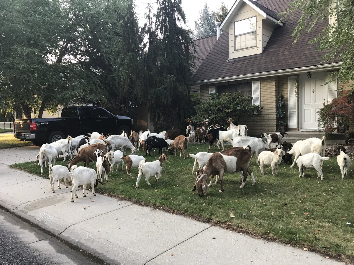 GOATS ON THE LOOSE IN BOISE