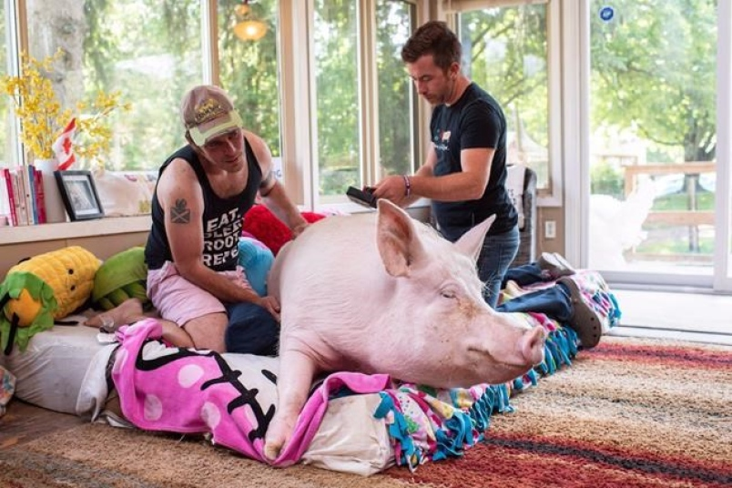 ESTHER THE WONDER PIG ON THE MEND FROM CANCER AND AN ULCER