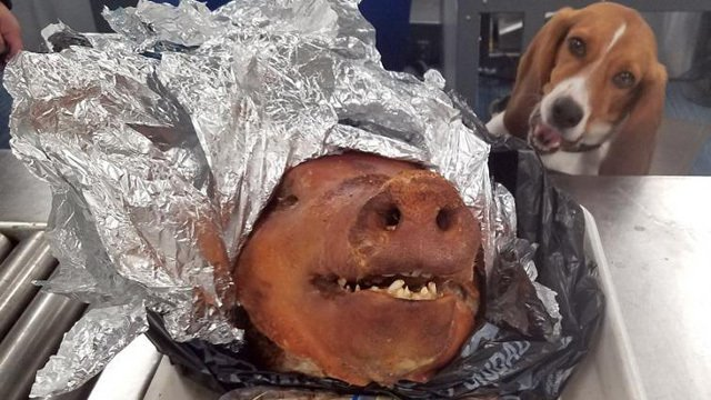 SNIFFER DOG TRACKS DOWN ROASTED PIG'S HEAD IN CHECKED LUGGAGE