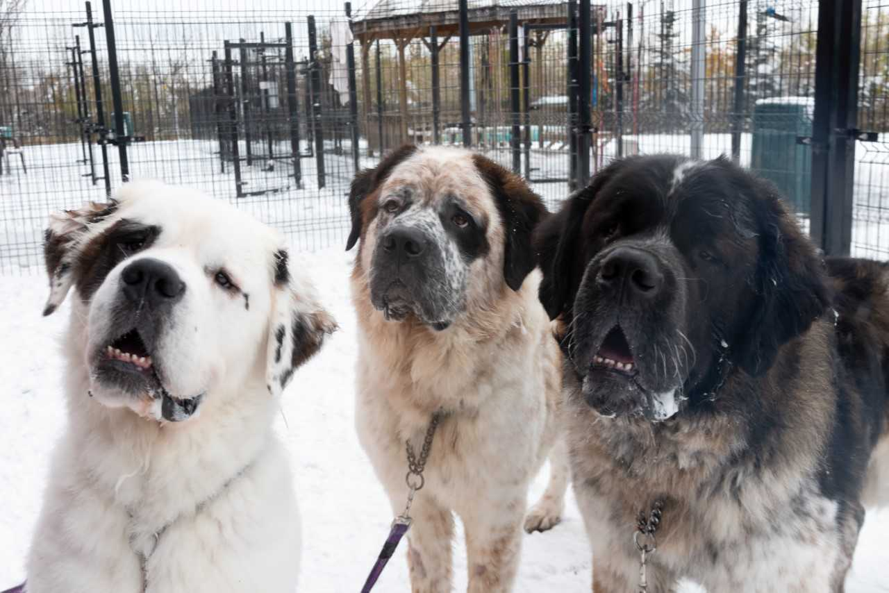 HUNDREDS OF PEOPLE WANT THOSE SAINT BERNARD BROTHERS