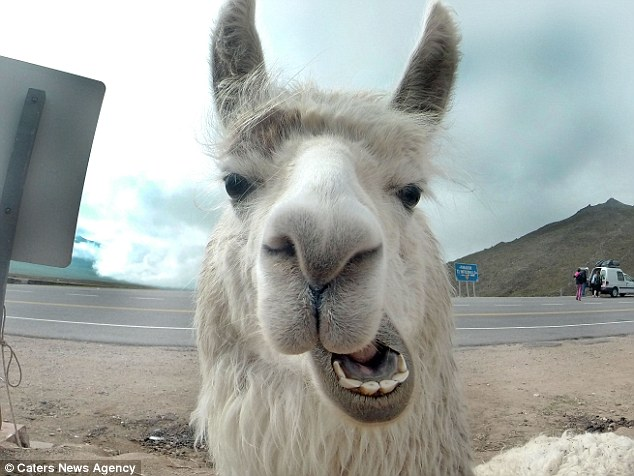SCIENTISTS STUDYING LLAMAS FOR A POTENTIAL VACCINE AGAINST MANY STRAINS OF FLU