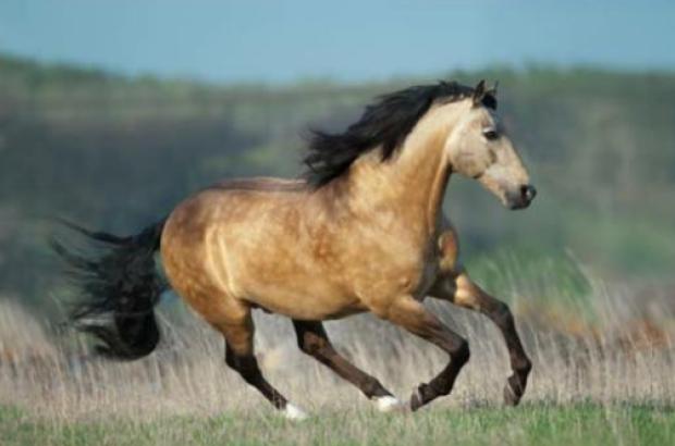 DRAYTON VALLEY AREA FARMER BELIEVES A HUNTER SHOT HIS BUCKSKIN HORSE