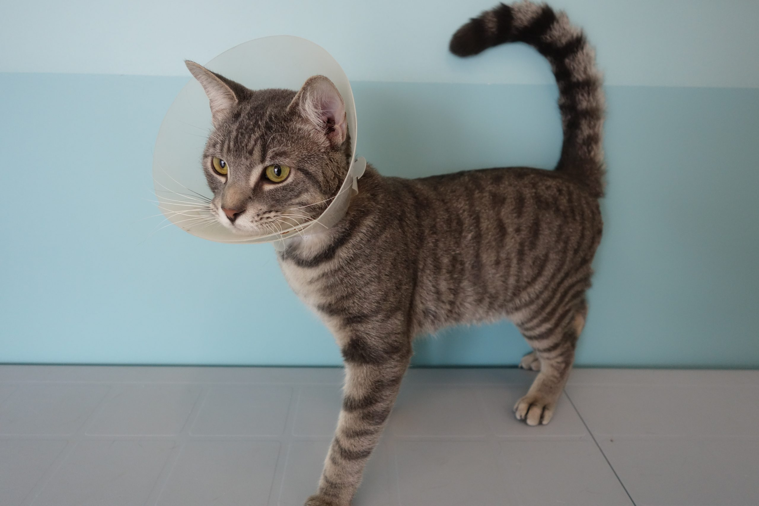 Humane Society looks to identify intentionally injured cat