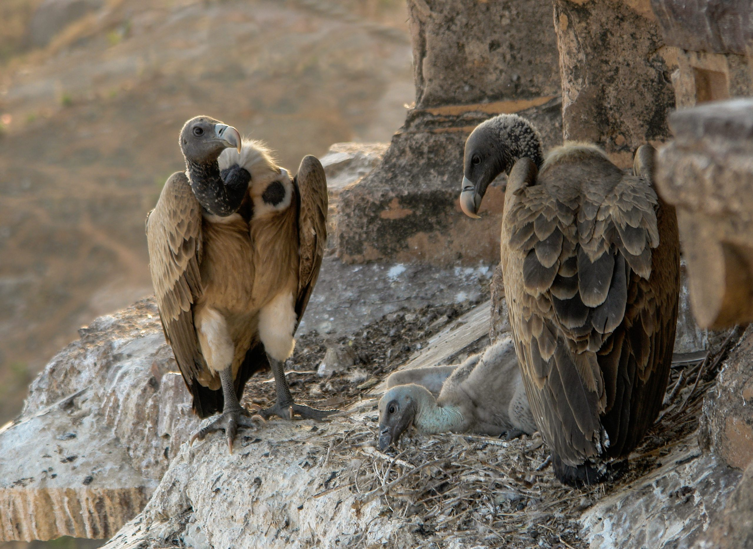 #BlakesTake: Gay Vulture Couple Become Daddies After Hatching Abandoned Egg