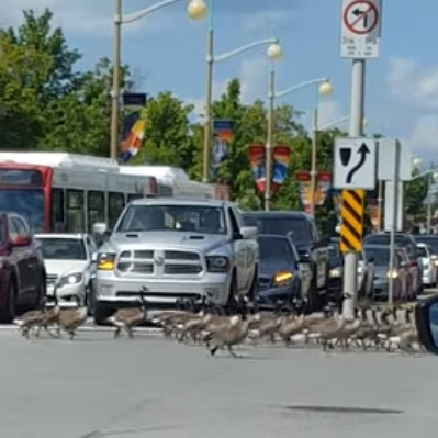 In Ottawa, Even the Geese Are Polite